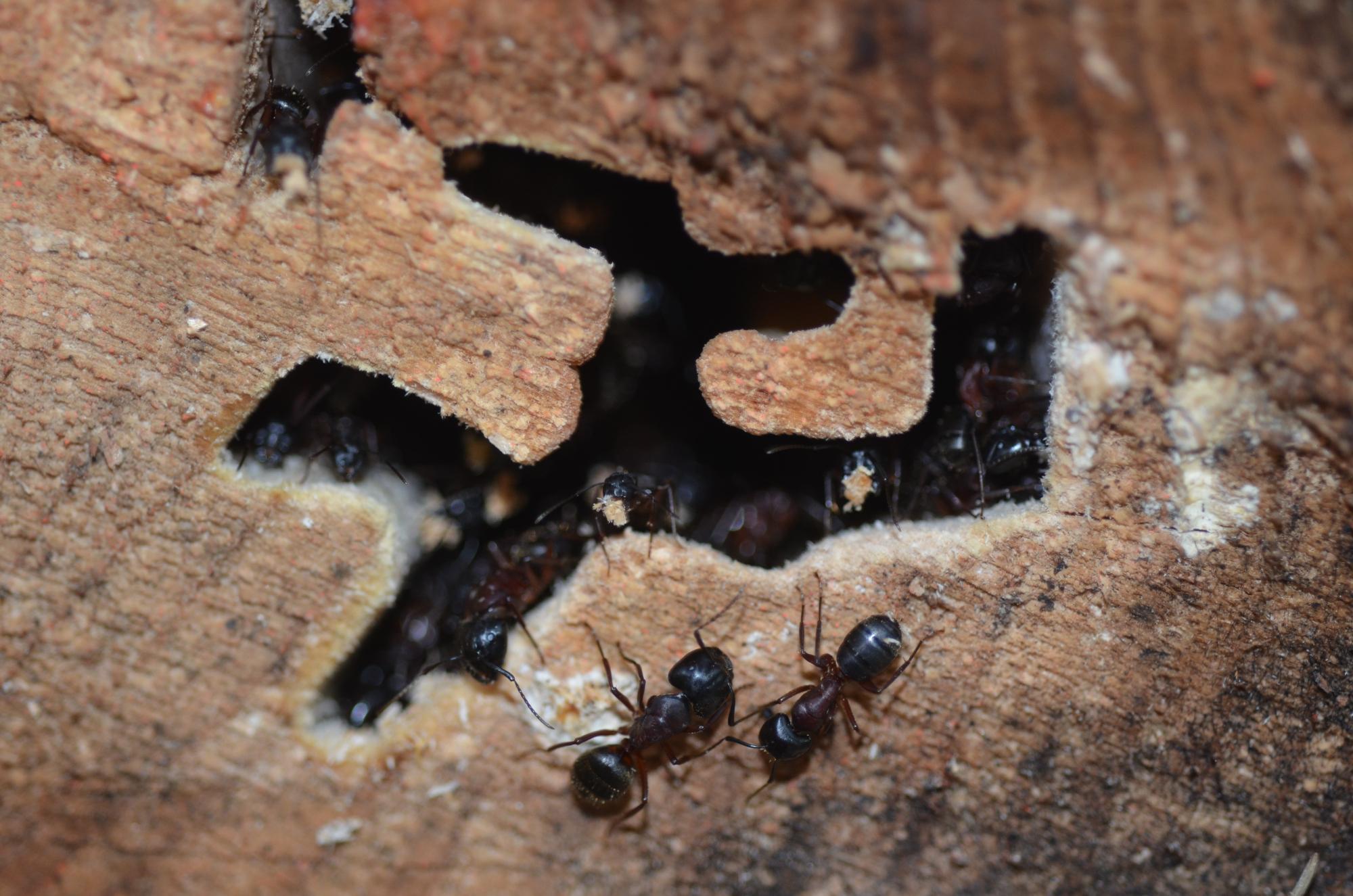 Bioholz ameisen