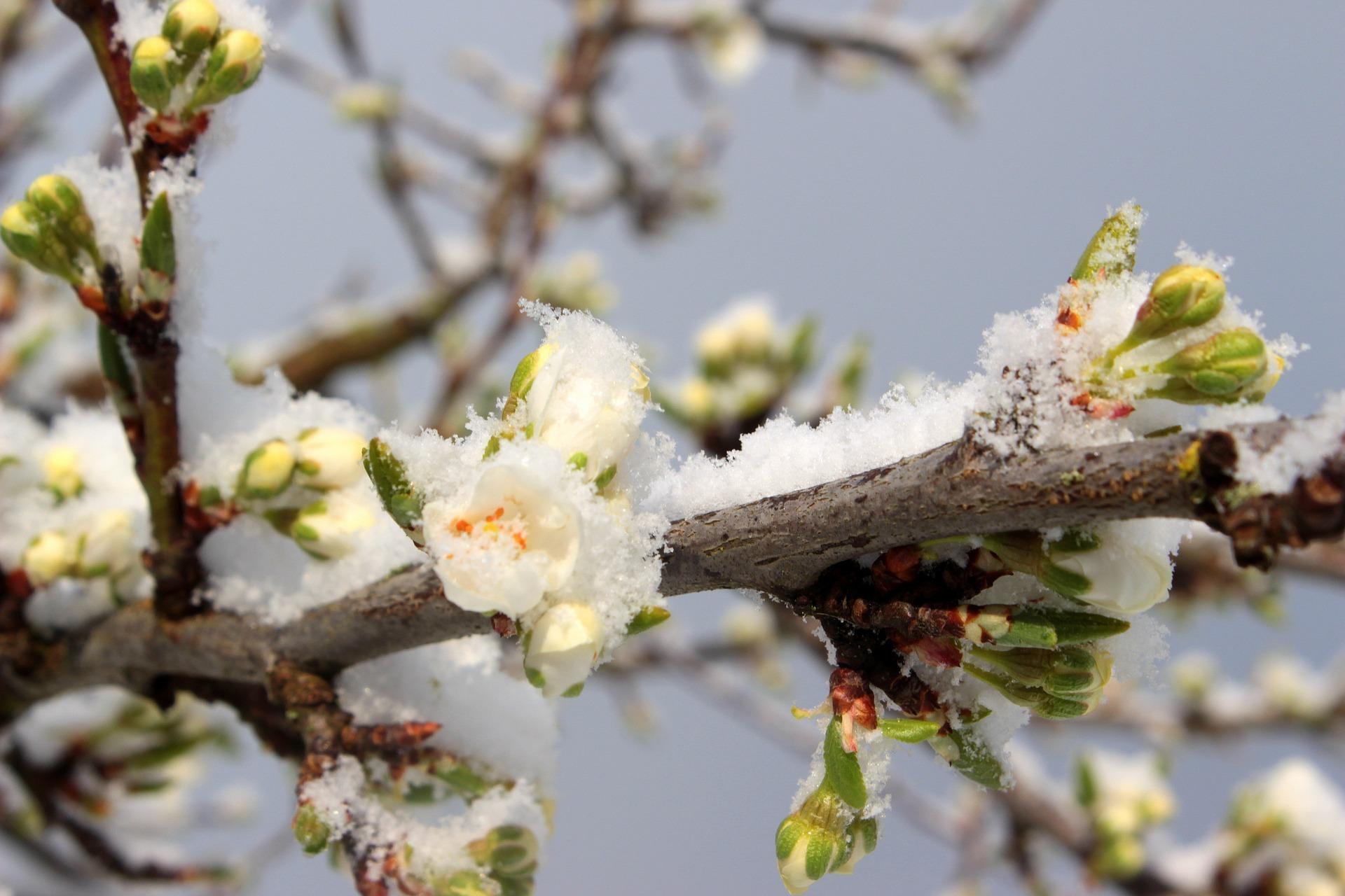 Blüten mit schnee Myriams Fotos Pixabay